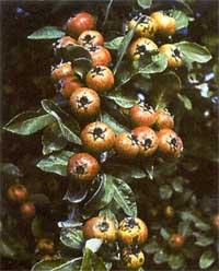 Груша лохолистная 'pyrus elaeagrifolia'